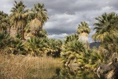 Paumes de ventilateur à une oasis Photo stock