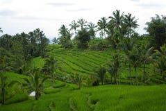 Paumes et ricefield sur l'île de Bali photo libre de droits