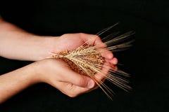 Paumes humaines avec des céréales Photo stock