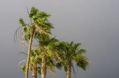 Paumes se pliant sur le vent photo libre de droits
