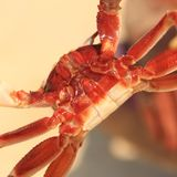 Paunch of a crab. Royalty Free Stock Photos
