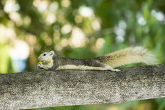 Paunchy squirrel lay on tree stock photos
