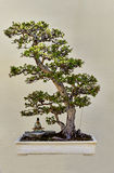 Paupers Tea Bonsai Royalty Free Stock Photography