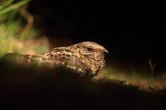 Pauraqu, Nyctidromus-albicollis, nachtelijke tropische vogelzitting ter plaatse, de scène van de nachtactie, dier in donkere aard stock foto