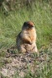 Pausa della marmotta Fotografia Stock