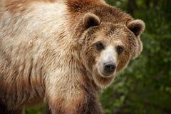 Pausas com fome deste urso pardo para o olhar de A em segundo Imagem de Stock Royalty Free