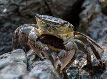 Pausas do caranguejo ao disparar através das rochas Imagens de Stock Royalty Free