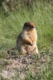 Pause de marmotte Photographie stock