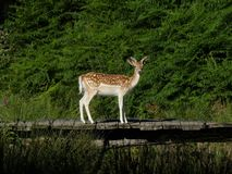 The pause for prosperity. This deer does not take risks on his bridge. He takes the break to appear on the greeting cards. malignant Royalty Free Stock Image