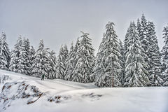 Hiker on Snowy Field with Snow Covered Evergreens  Stock Images
