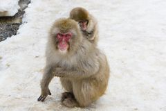 Baby Snow Monkey Piggyback Royalty Free Stock Photos