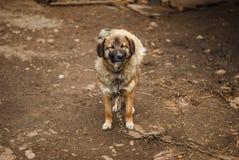 Pauvre chien de yard sur la chaîne près de la cabine Photographie stock libre de droits