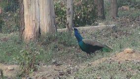 Pauw in Agra-park, India stock videobeelden