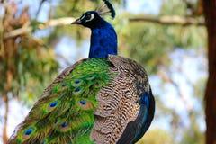 Pauw in Australië royalty-vrije stock foto's