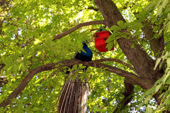 Pauw in boom in natuurreservaat Royalty-vrije Stock Foto
