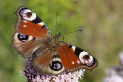 Pauw butterly stock afbeelding
