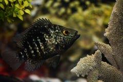 Pauw cichlid in zoetwateraquariumtank royalty-vrije stock foto's