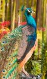 Pauw in de Tuin van de Orchidee Stock Foto's
