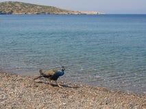 Pauw die bij Plaka-strand lopen Stock Fotografie