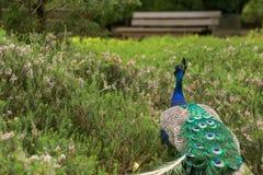 Pauw die door een droomgebied wandelen van installaties in botanisch royalty-vrije stock afbeelding