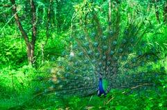 Pauw die in het midden van bomen in een bos dansen Dit het koppelen stock fotografie