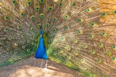 Pauw die op wijfje probeert indruk te maken pauw die zijn staart in de tuin uitspreiden de pauw opende zijn mooie kleurrijk royalty-vrije stock foto