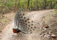 Pauw die zijn vleugel waaien Royalty-vrije Stock Foto