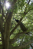 Pauw in een boom Royalty-vrije Stock Afbeelding