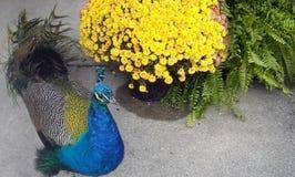 Pauw en bloemen Royalty-vrije Stock Foto