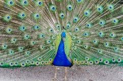 Pauw gewaaid allen uit het pronken van met veren royalty-vrije stock foto