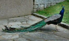 Pauw in het park Royalty-vrije Stock Foto