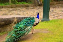 Pauw in het park Royalty-vrije Stock Afbeeldingen