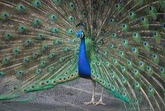 Pauw met de open staart en grote blauwgroene eyespots stock afbeelding
