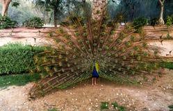 Pauw met een open staart in een natuurlijk milieu Stock Fotografie