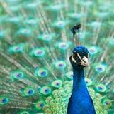 Pauw met kleurrijke staart Stock Fotografie