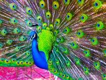 Pauw met mooie staart Royalty-vrije Stock Fotografie
