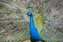 Pauw Mooie vogel Royalty-vrije Stock Foto