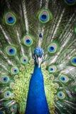 Pauw - muticus Pavo Royalty-vrije Stock Afbeeldingen