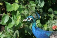 Pauw peafowl Royalty-vrije Stock Afbeeldingen