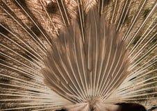 Pauw Sluit omhoog van pauw die zijn mooie veren toont royalty-vrije stock fotografie
