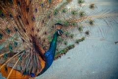 Pauw in tuin dichte omhooggaand Stock Afbeeldingen
