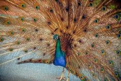Pauw in tuin dichte omhooggaand Royalty-vrije Stock Afbeelding