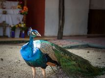 Pauw in Yucatan Mexico in de dag Stock Foto's