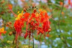 Pauwbloem (Caesalpinia-pulcherrimais) in de botanische tuin die van USF wordt genomen Royalty-vrije Stock Afbeeldingen