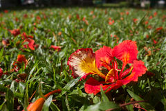 Pauwbloem op grasveld Stock Afbeelding