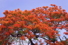 Pauwbloemen Stock Fotografie