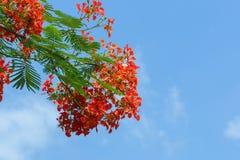 Pauwbloemen stock afbeelding