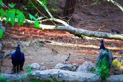 Pauwen die in het bos in de Zeven Lentespark spreken in Rhodos royalty-vrije stock foto's
