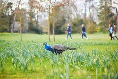 Pauwen en ganzen in Kleinigheidspark van Bois de Boulogne in Pari Stock Afbeelding