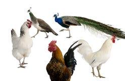 Pauwen, kippen en haan Stock Fotografie